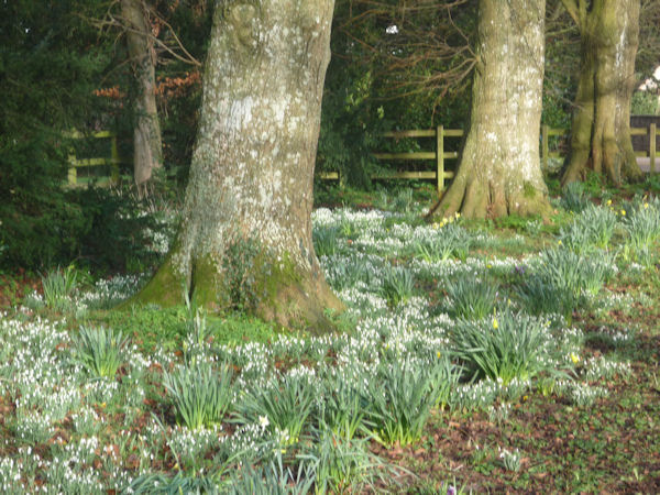 Snowdrops in the Avenue